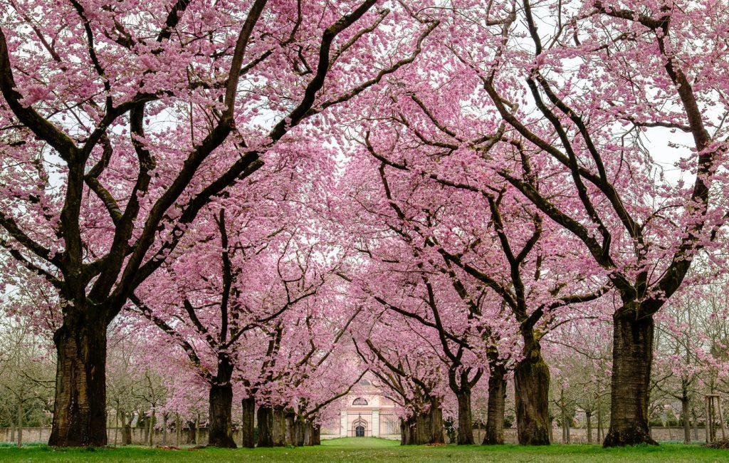 Kirschblüte im Schwetzinger Schlosspark – leider bei trübem Wetter