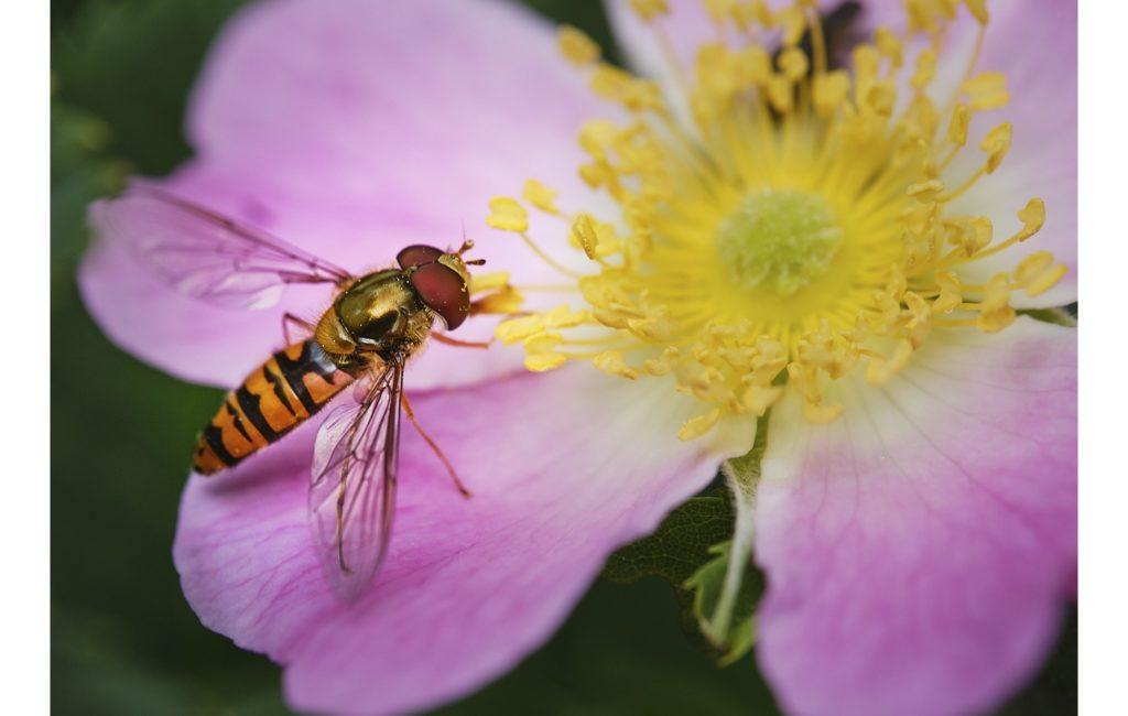 Immer mehr Blüten und Insekten