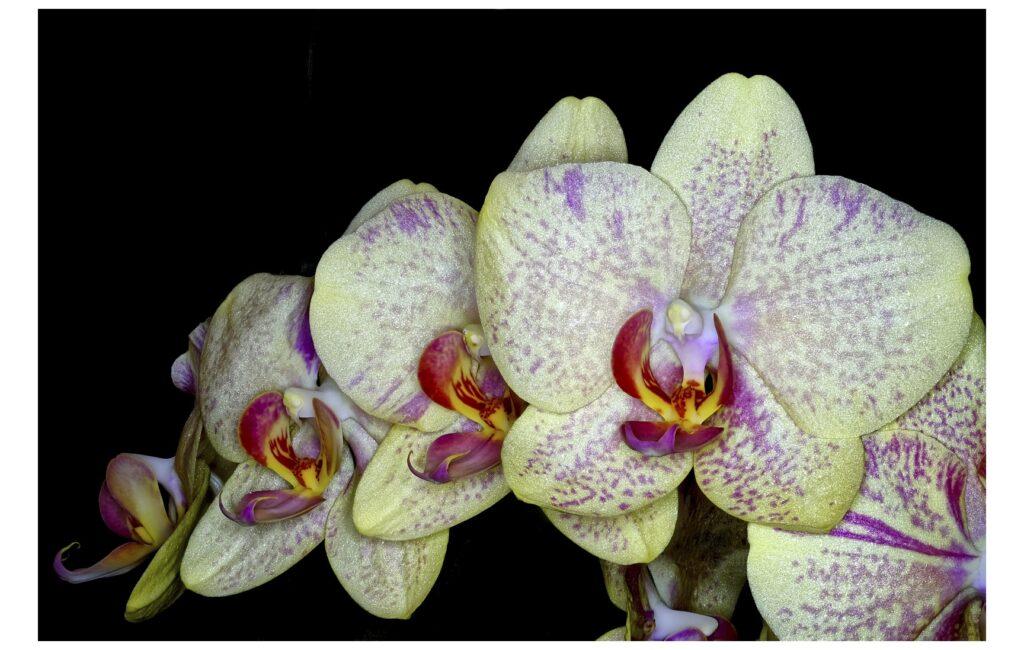 Unsere Orchideen blühen!