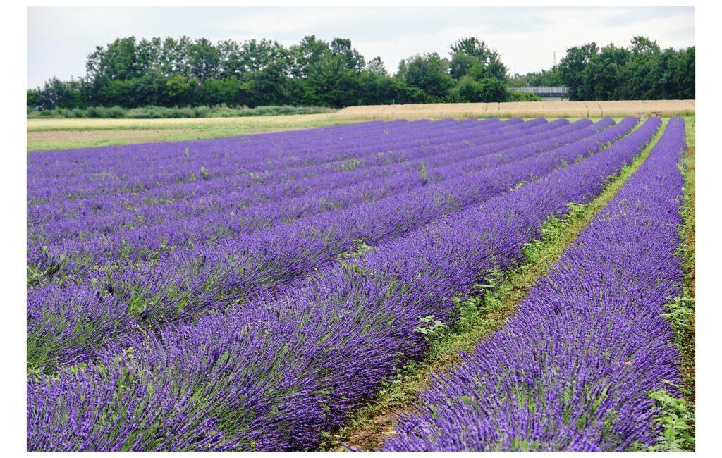 Die Suche nach dem Lavendelfeld